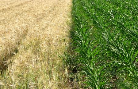 Green corn and gold wheat fields Zdjęcie Seryjne