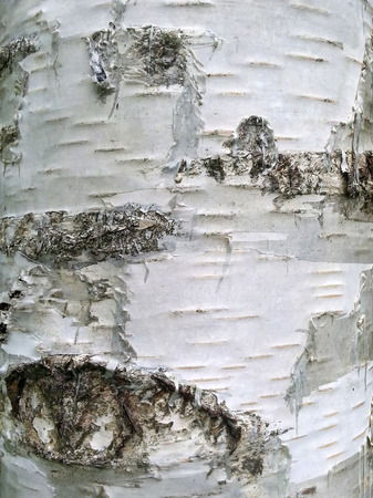 Image of a white birch bark close-up Stock Photo