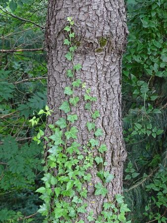 Ivy winds along the trunk of a tree in the forest Stock Photo