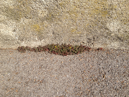 Bunch of shamrock under the base of an old wall