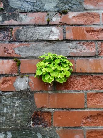 Bunch of shamrock leave on a grungy bricks wall