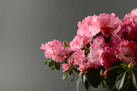 Blossoming of azalea pink flowers (background) Stock Photo