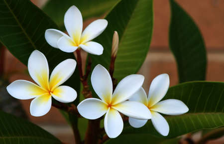 tahitian: Frangipani (plumeria) with brick background