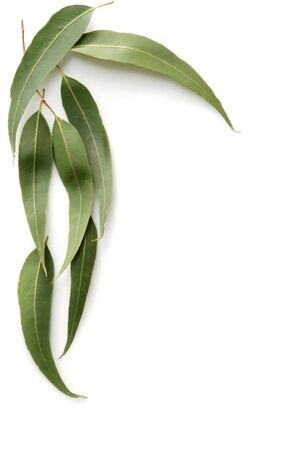 Gum tree leaves form a border against a white background.