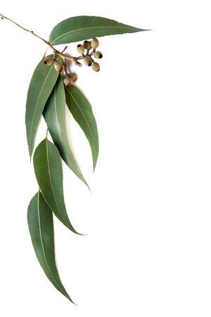 EUCALYPTUS: Gum leaves and gumnuts form a border on white background.