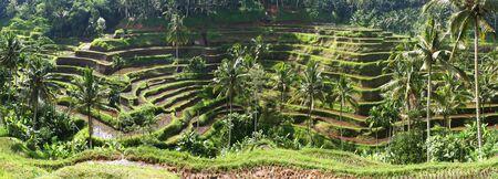 gradas: Terrazas de arroz de Bali, en la primera hora de la ma�ana la luz. Vista panoramica (archivo grande).