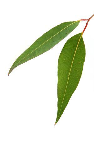 EUCALYPTUS: Gum leaves on white background.