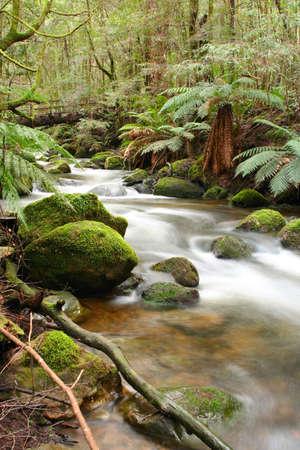 flowing river: �rboles mas rainforest, con los cantos rodados musgo-cubiertos, antiguos templados del beecht del mirto, y r�o suavemente que fluye. Victoria, Australia.