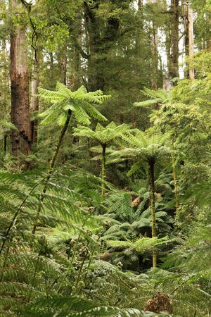 Treeferns soar high in a cool temperate rainforest, Victoria, Australia.  Ferns in the foreground are sprouting new spring growth. Stock Photo - 2050946