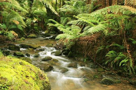 A river flows softly through lush temperate rainforest.  Treeferns, ancient eucalyptus trees, and mossy boulders complete a tranquil, pristine setting.  Victoria, Australia. Stock Photo - 2050945