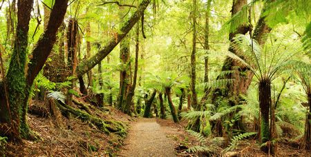 unspoilt: Panorama of path through a cool temperate rainforest, with tree ferns and ancient myrtle beech trees.
