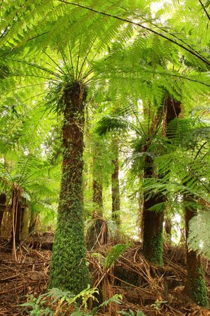temperate: Tree ferns in a cool temperate rainforest in Victoria, Australia.