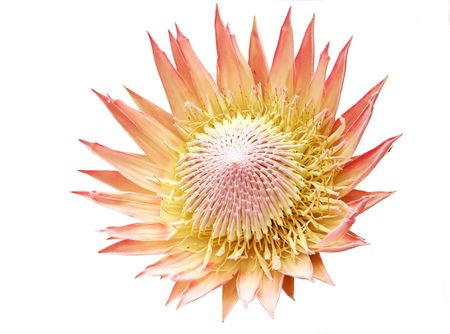 King protea flower, isolated on white.  A real beauty.