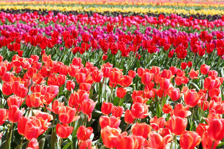 purples: Field of vibrant tulips, in pinks, reds, purples and yellows.   Stock Photo