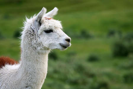 A brown and white alpaca, with green field behind.  Shallow depth of field, room for text.