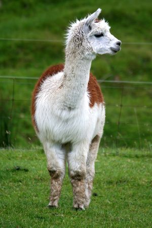 Front-on view of a tan and white alpaca standing in a lush green field. photo