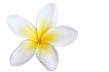 A single beautiful frangipani (plumeria) flower, isolated on white. Stock Photo