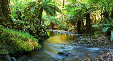A river flows softly through temperate rainforest in golden early morning light.  Yarra Ranges, Victoria, Australia.