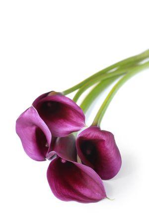 fleur arum: Purple calla lys, isol� sur blanc, avec des ombres douces.