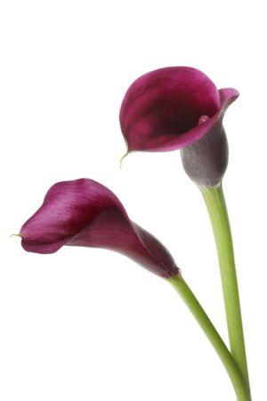 arum flower: Two vibrant purple mini calla lilies, isolated on white. Stock Photo