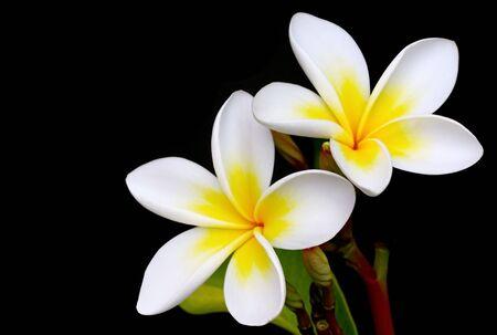 tahitian: Glorious frangipani or plumeria flowers, with black background.
