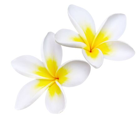 Glorious frangipani or plumeria flowers, with clipping path. Stock Photo