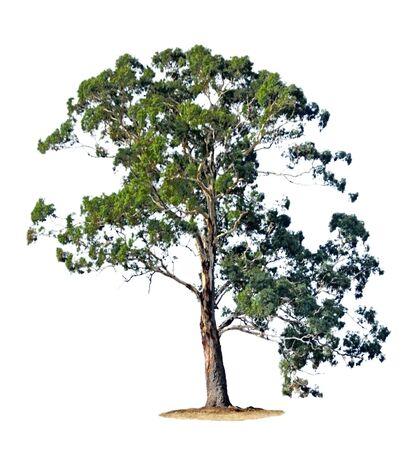 eucalyptus trees: A single gum tree, isolated on white.
