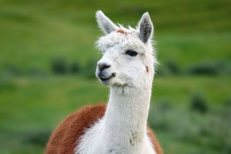 Portrait of a handsome alpaca, with green fields behind. photo