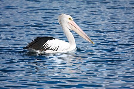 waterbird: Pelican swimming on blue water.  Bright sun lit up the details of this handsome bird.