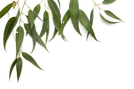 green leaves border: Border of gum leaves, casting soft shadow on white. Stock Photo