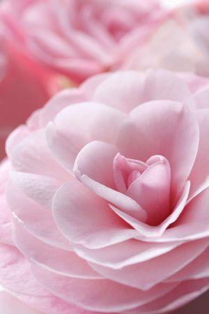 """camellia: Glorious camelie fiori rosa pastello, con messa a fuoco dolce. Questa � una variet� chiamata """"Desire"""". Archivio Fotografico"""
