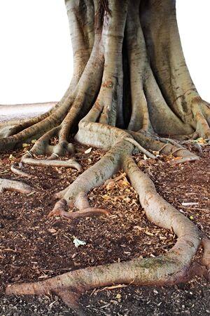 banyan: Ra�z de un sistema masivo de Banyan o higuera.