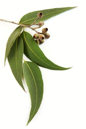 eucalyptus trees: Gum leaves and gum nuts, casting natural shadow on white.