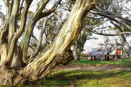 wallace: Wallace Hut, an old cattlemens hut in the Victorian Alps, Australia.  Surrounded by gnarled snow gums.