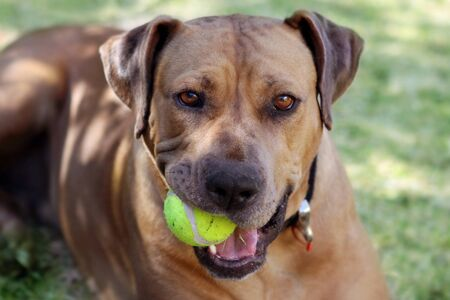 ridgeback: Rhodesian ridgeback with a tennis ball in her mouth, ready to play.