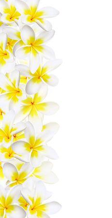 Frangipanis make a vertical border against white background. Glorious tropical plumeria flowers.
