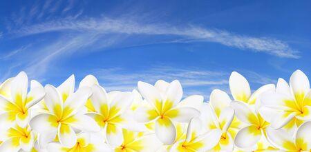 Panorama of glorious frangipani flowers against blue sky.