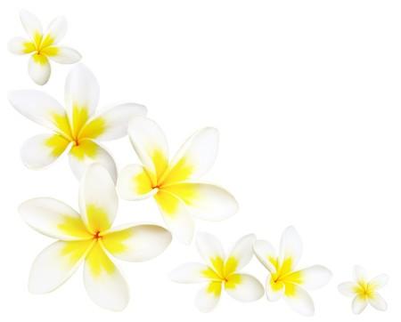 plumeria on a white background: Frangipani or plumeria flowers make a useful corner border, over white.