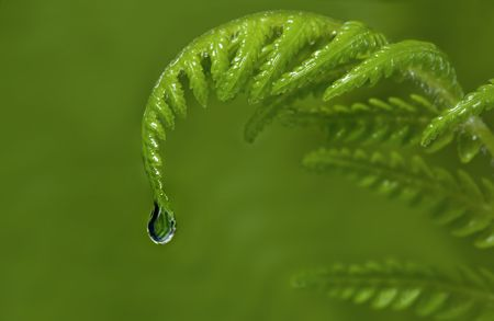 Raindrop falling from new tip of a fern frond.  Blurred green background. Stock Photo