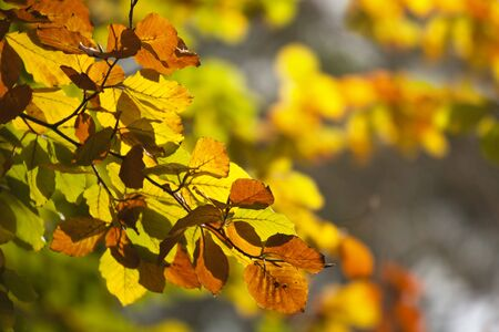 russet: Autumn leaves backlit by sunlight.  Lovely gold and russet, with defocussed background. Stock Photo