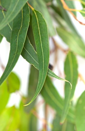 Gum leaves with white background.  Blurred background, with soft focus on front leaves. Stock Photo
