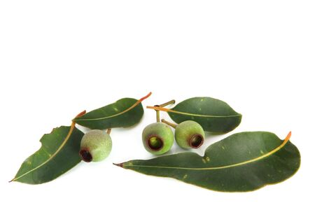 eucalyptus trees: Gumnuts and gum leaves, isolated on white background.