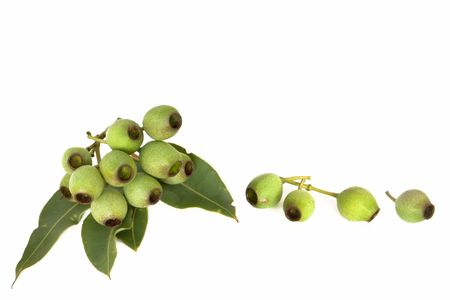 seedpod: Gumnuts and gum leaves, isolated on white background.