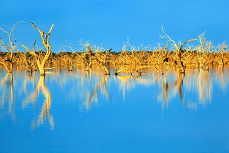 new south wales: Trees submerged in man-made lake, in glorious sunset light.  Menindee, outback New South Wales, Australia.