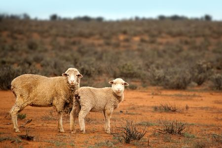 Sheep in the Australian outback.  Ewe and lamb feed in unfenced red desert country.