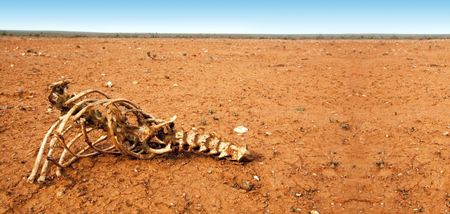 arid: Animal skeleton in arid red desert.  Outback New South Wales, Australia.