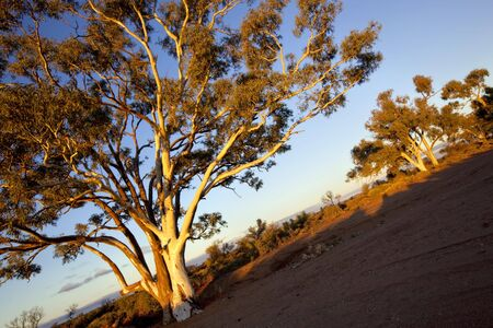 Gum trees in sunset light, in a dry river bed in outback Australia.   photo