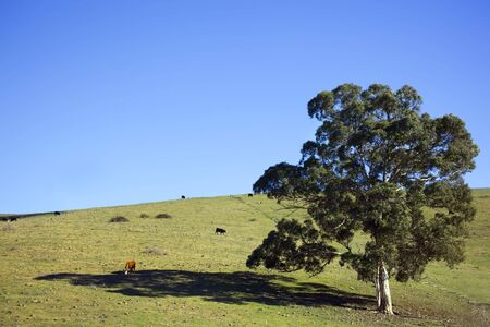 A hillside dominated by a single eucalyptus tree, with cattle grazing.  Brilliant blue sky.  Southern New South Wales, Australia Stock Photo - 5366433