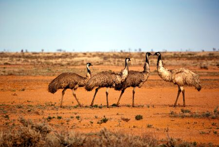Emus in the wild, outback New South Wales, Australia. photo