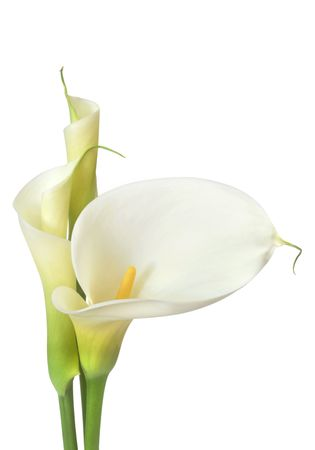 isolated in white background: White calla lilies, isolated on white.  Buds and full-bloom, in soft focus. Stock Photo